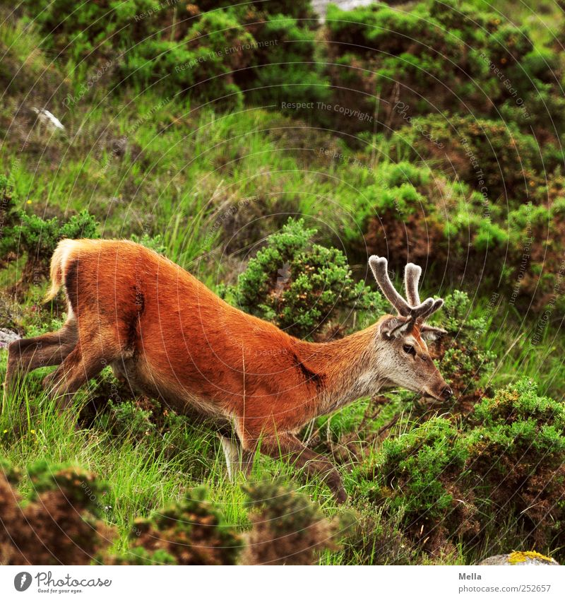 Nature Animal Meadow Freedom Environment Mountain Grass Going Free Wild Natural Wild animal Bushes Hill Antlers Deer