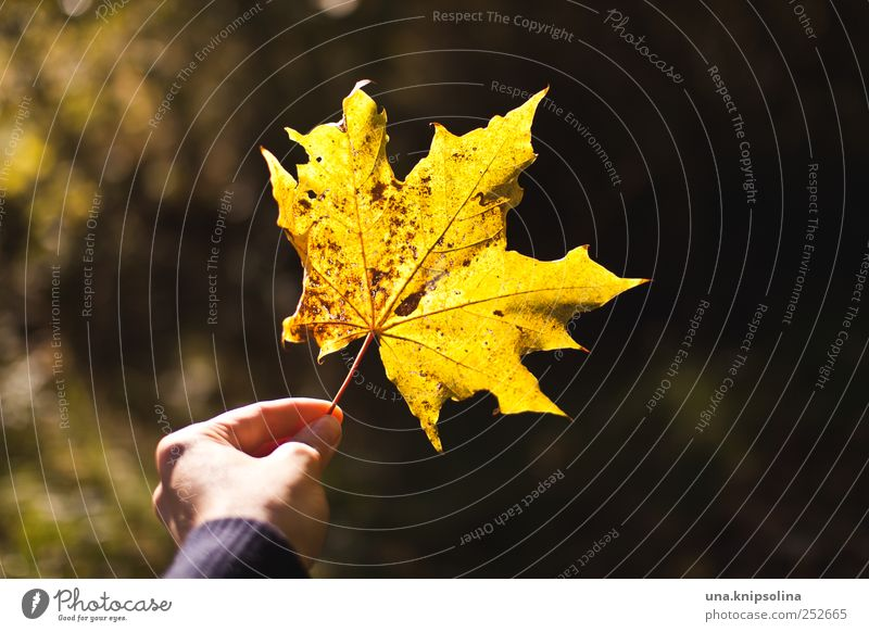 autumn***e Hand Fingers 1 Human being Environment Nature Plant Autumn Beautiful weather Leaf Maple leaf Maple tree To hold on Natural Yellow Colour photo