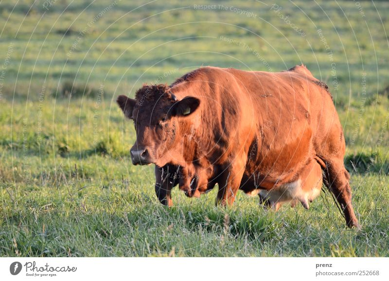 Nature Green Animal Environment Meadow Brown Field Large Stand Pasture Agriculture Cow Cattle breeding Farm animal Livestock