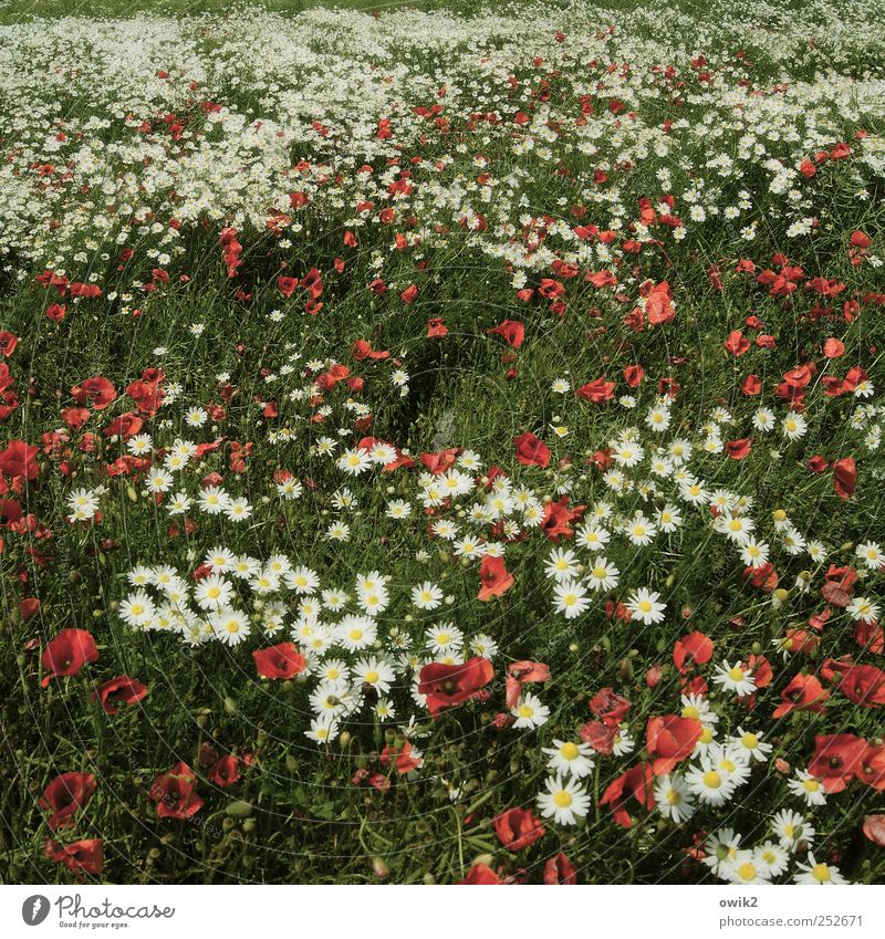 sea of flowers Environment Nature Landscape Plant Climate Beautiful weather Meadow Bright already Multicoloured Poppy Flower meadow Colour photo Subdued colour