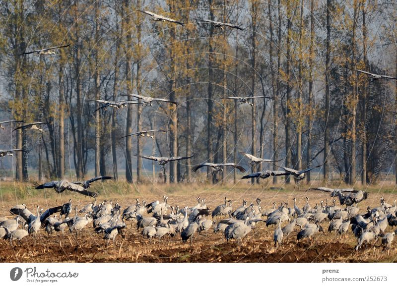 cranes Tree Field Animal Wild animal Bird Group of animals Flock Flying Blue Gray Crane Many Poplar To feed Brandenburg Wing Colour photo Exterior shot Deserted