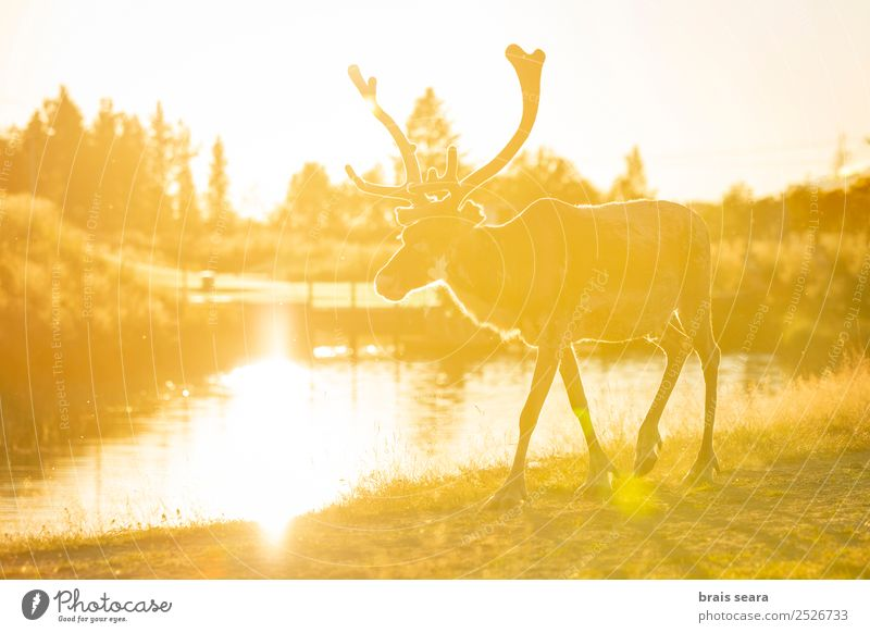 Reindeer Design Beautiful Sun Winter Snow Feasts & Celebrations Christmas & Advent Science & Research Environment Nature Animal Earth Climate change Warmth