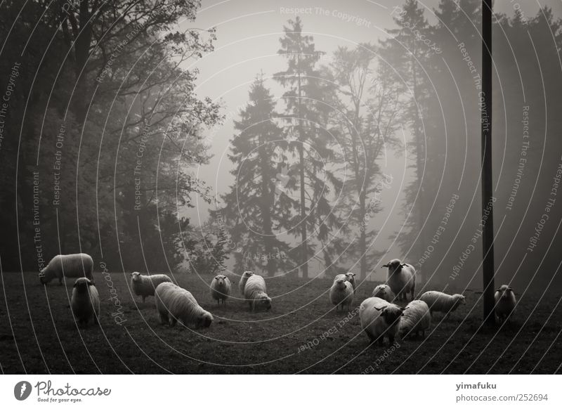 black & white sheeps Nature Animal Forest Fog Natural Group of animals Curiosity Switzerland Serene Fir tree Sheep Feeding Patient Farm animal 2011
