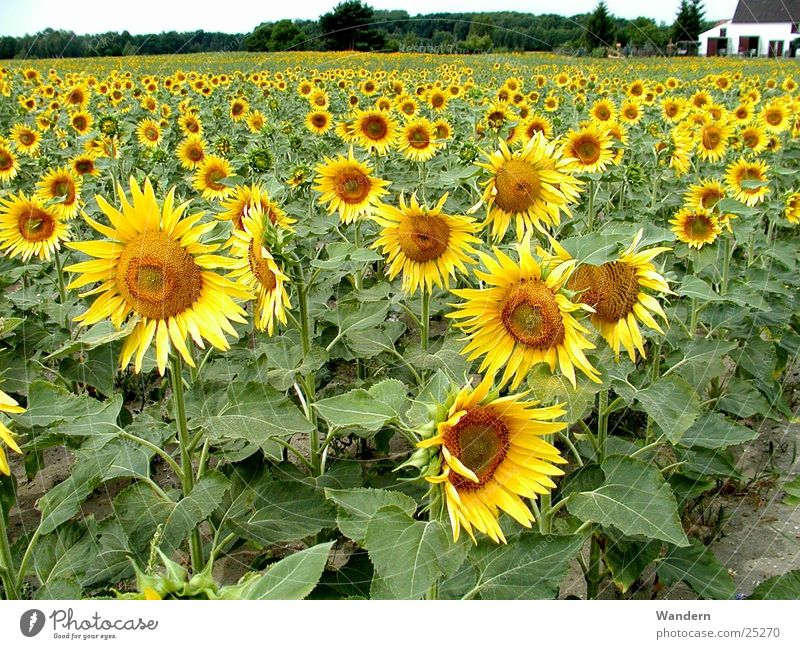 Summer Environment Agriculture Sunflower Renewable energy Oleiferous fruit