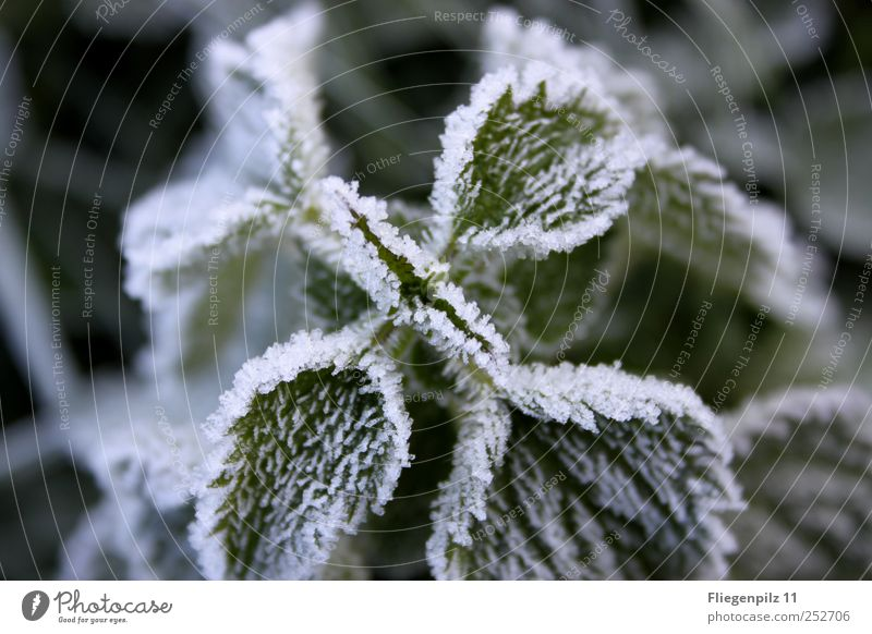 white winter dress Nature Autumn Winter Bad weather Ice Frost Plant Grass Leaf Foliage plant Agricultural crop Blossoming Calm Stinging nettle Nettle leaf Green