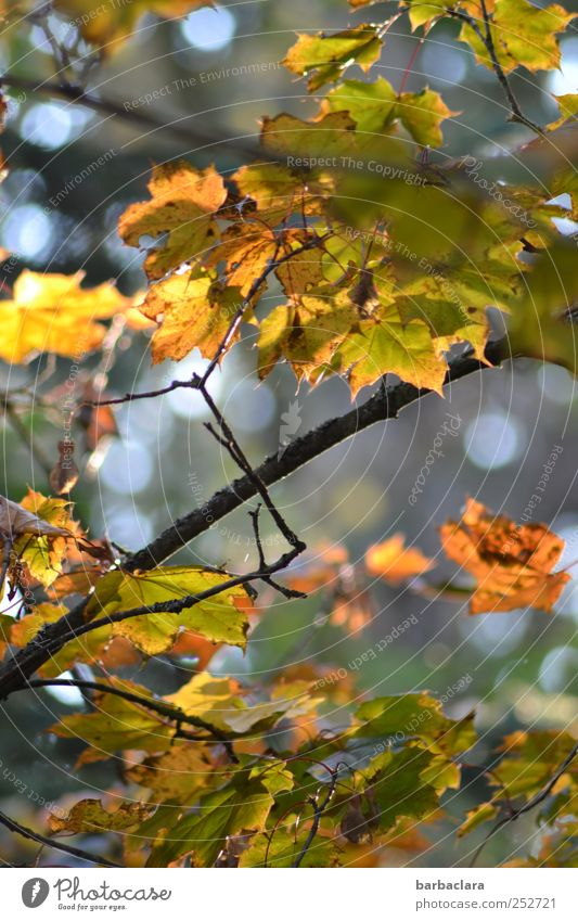 Nature Green Tree Leaf Yellow Autumn Bright Moody Gold Illuminate Change Transience To fall Longing Hang Autumn leaves