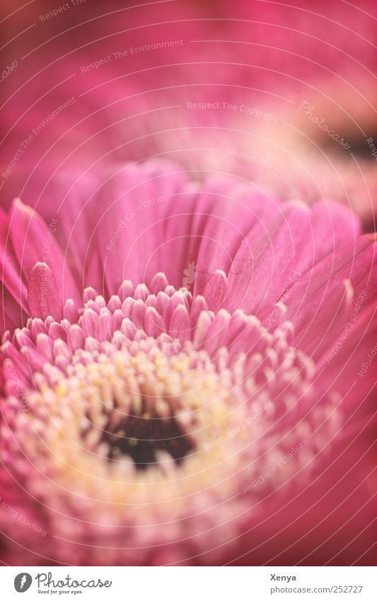 Old love Plant Flower Blossom Gerbera Retro Pink Romance Valentine's Day Blossoming Subdued colour Close-up Deserted Copy Space top Blur