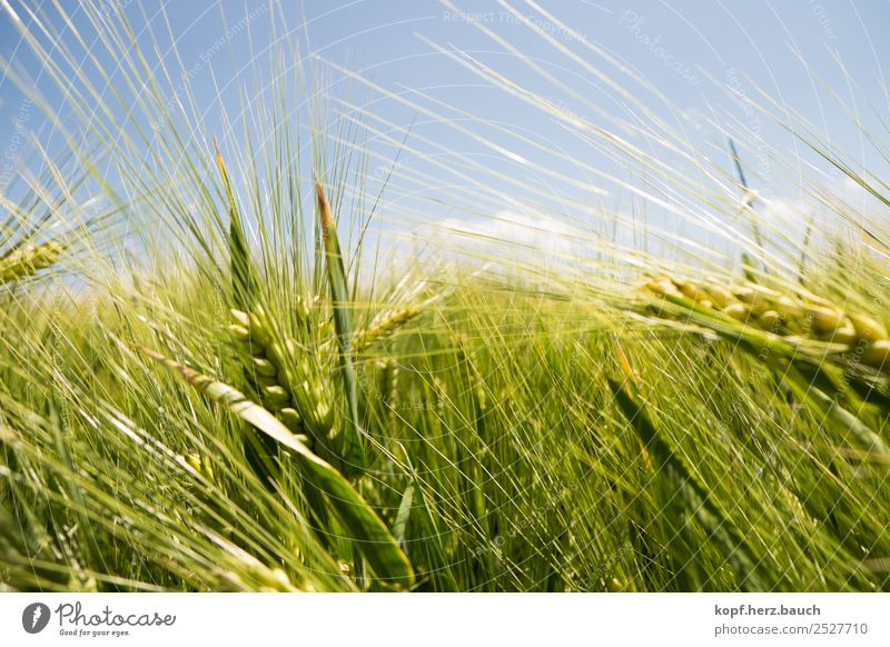 No bed in the cornfield Nature Plant Grass Agricultural crop Field Cornfield Grain field Blossoming Growth Esthetic Authentic Simple Free Natural Dry Wild Green