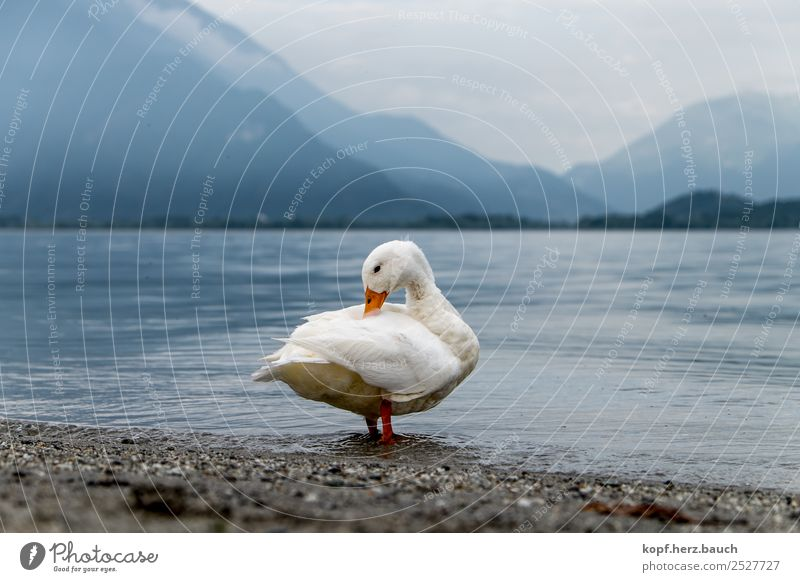 White Relaxation Animal Loneliness Calm Lake Swimming & Bathing Contentment Elegant Esthetic Idyll To enjoy Cute Cleaning Protection