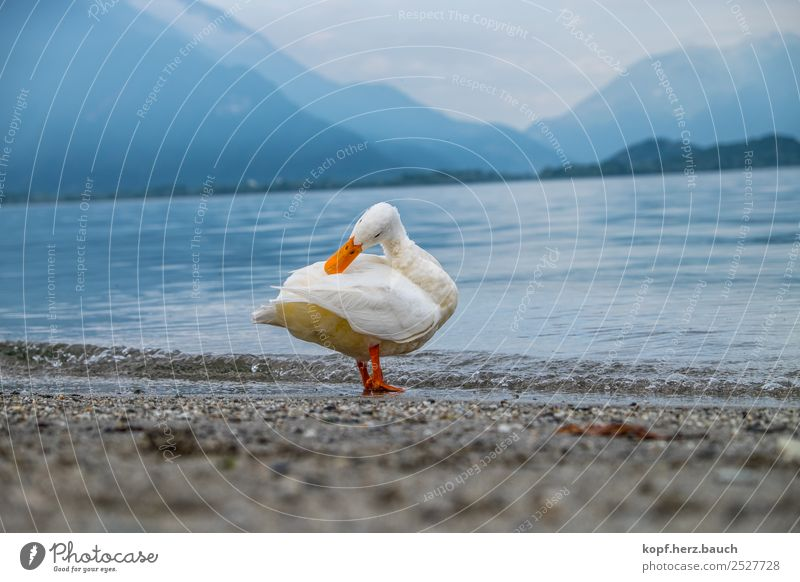 Duck yoga, the second Yoga Weather Lakeside Lago di coma Animal 1 Relaxation Cleaning Esthetic Exceptional Beautiful Uniqueness Wet Cute White Attentive