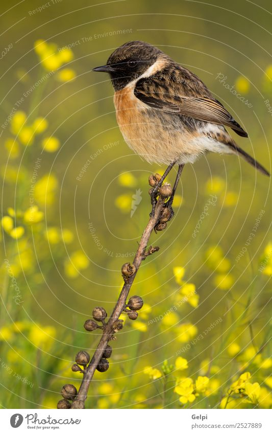 Beautiful wild bird perched on a branch in nature Life Man Adults Environment Nature Animal Flower Bird Small Natural Wild Brown Yellow Red White stonechat