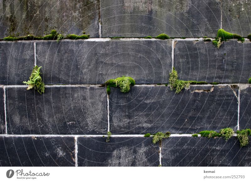 Mortar and moss Environment Plant Foliage plant Wild plant Moss Wall (barrier) Wall (building) Stone Growth Dark Gray Green well up renaturalisation stonewalled