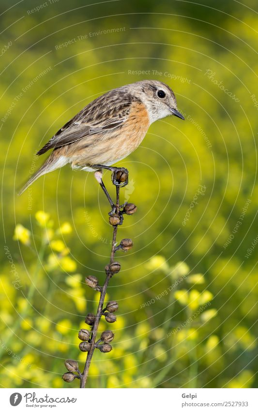 Beautiful wild bird perched on a branch in nature Life Woman Adults Environment Nature Animal Flower Bird Small Natural Wild Brown Yellow Red White stonechat
