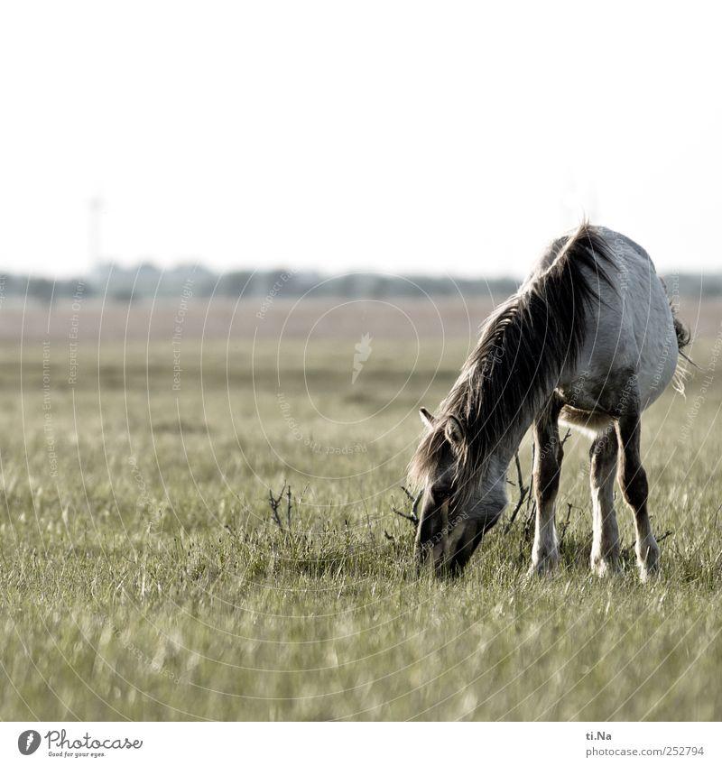 Green Summer Animal Gray Wild Wild animal North Sea To feed Schleswig-Holstein Wild horses Dithmarschen