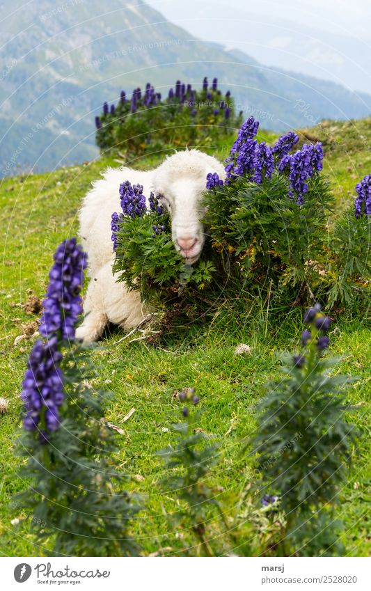 Nature Plant Blue Green Relaxation Animal Mountain Meadow Fear Lie Curiosity Protection Alps Pet Hide Sheep