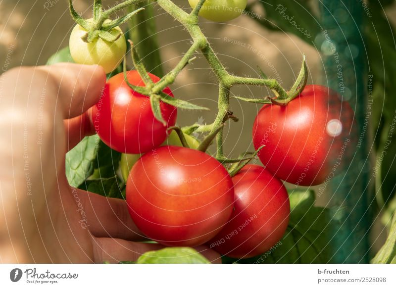 ripe tomatoes at the panicle Food Vegetable Organic produce Healthy Eating Agriculture Forestry Hand Fingers Summer Autumn Bushes Agricultural crop Garden
