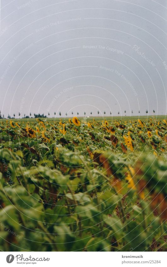 sunflower field Flower Field Sunflower Sunflower field Far-off places