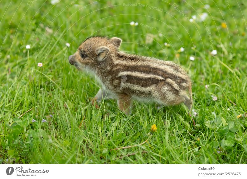 newbie Beautiful Baby Nature Animal Spring Grass Meadow Wild animal 1 Baby animal Walking Small Natural Cute Brown Green White Boar youthful Young boar Piglet