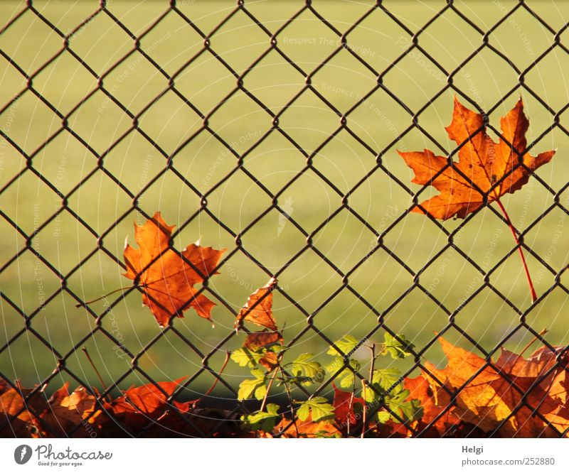 at the fence... Environment Nature Plant Autumn Beautiful weather Leaf Foliage plant Maple leaf Park Fence Wire netting Metal Old Illuminate To dry up Growth