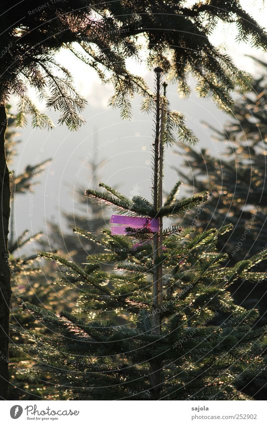 christmas tree cultivation Environment Nature Plant Tree Fir tree Anticipation Christmas tree Inscribe Label Colour photo Exterior shot Deserted Evening