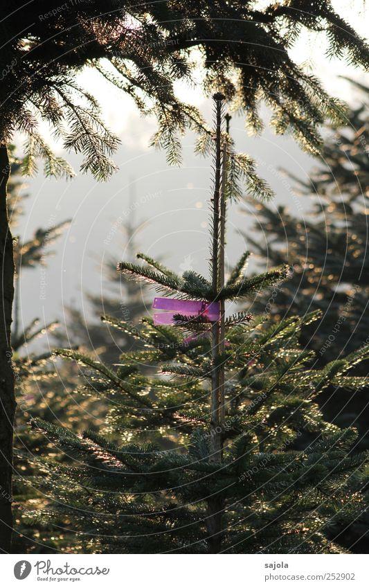 Nature Tree Plant Environment Christmas tree Fir tree Anticipation Label Inscribe