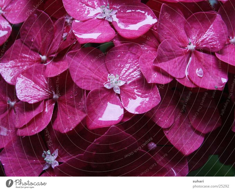 Nature Water Flower Plant Blossom Rain Pink Drops of water