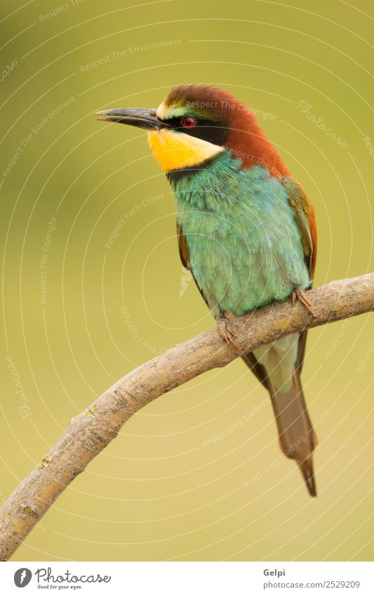 Small bird perched on a branch with a nice plumage Exotic Beautiful Freedom Nature Animal Bird Bee Glittering Feeding Bright Wild Blue Yellow Green Red White