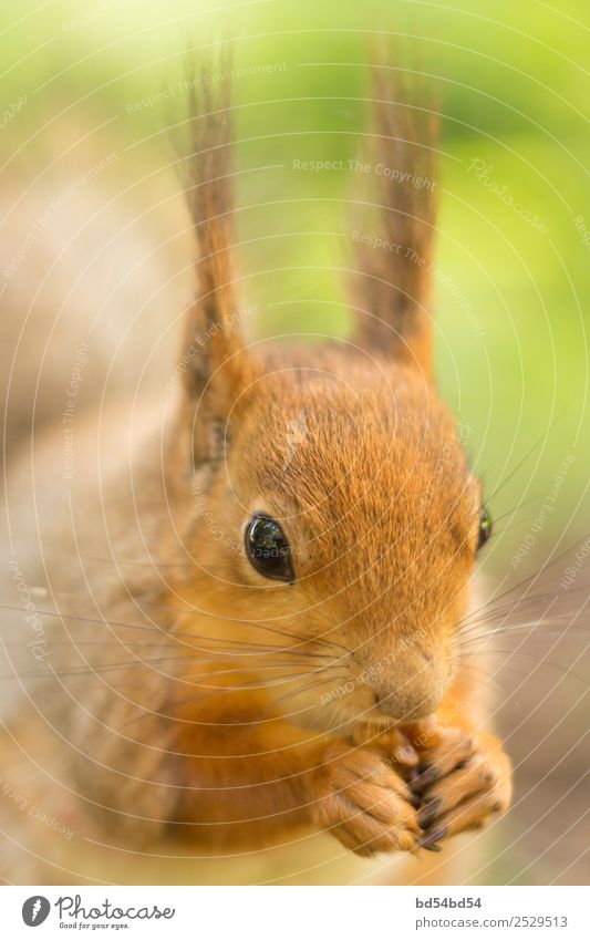 The red squirrel eats a nut. Squirrel in the summer on the street. Beautiful animal in the park. Squirrel portrait. nature mammal rodent cute wildlife tail