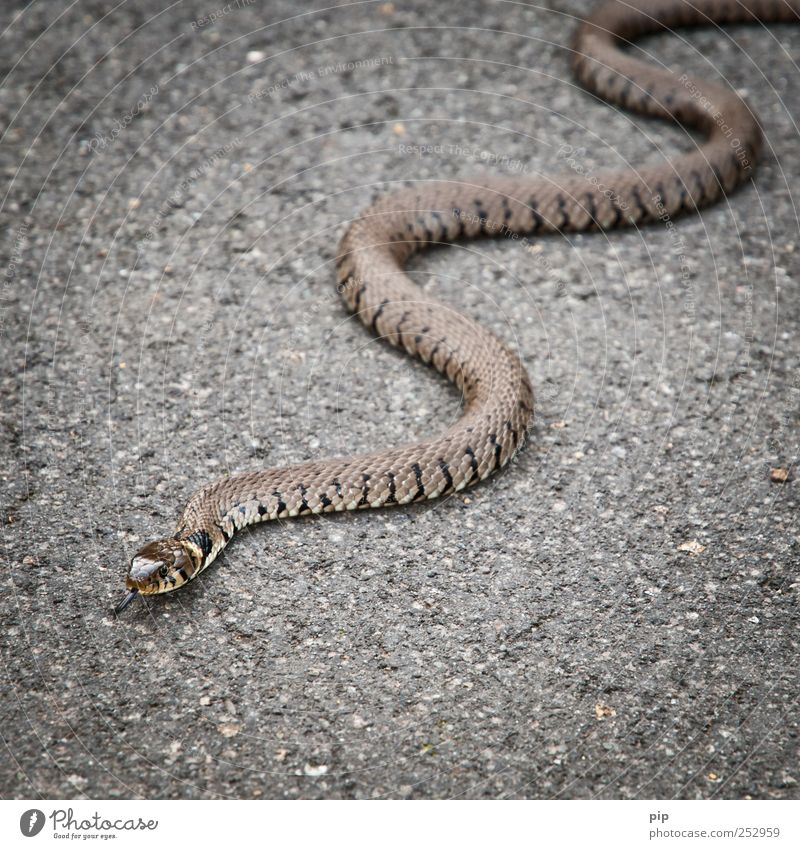 You shall crawl on your belly. Street Asphalt Wild animal Snake Scales Viper Ring-snake 1 Animal Fear Fear of death Dangerous Crawl Tongue Whorl Wiggly line