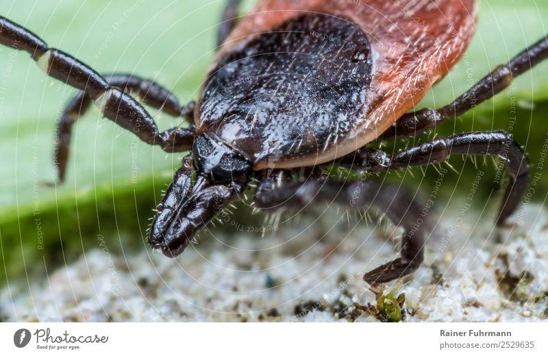 "Portrait of a tick Environment Nature Animal Wild animal Tick 1 Hunting Aggression Threat Pain Lyme disease Bite Pierce Illness disease vector dangerous,"""