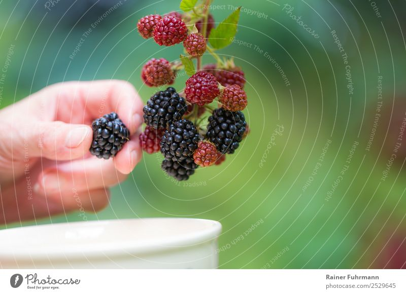 "a woman picking blackberries Human being Hand 1 Nature Plant Beautiful weather Agricultural crop Garden Field Work and employment Delicious ""reap Blackberry"