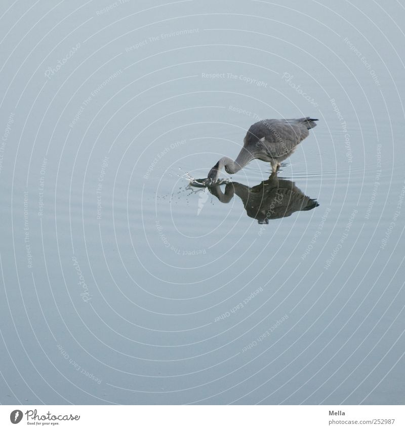 Nature Water Blue Animal Environment Lake Funny Bird Natural Dive Catch Hunting Pond To feed Inject Heron