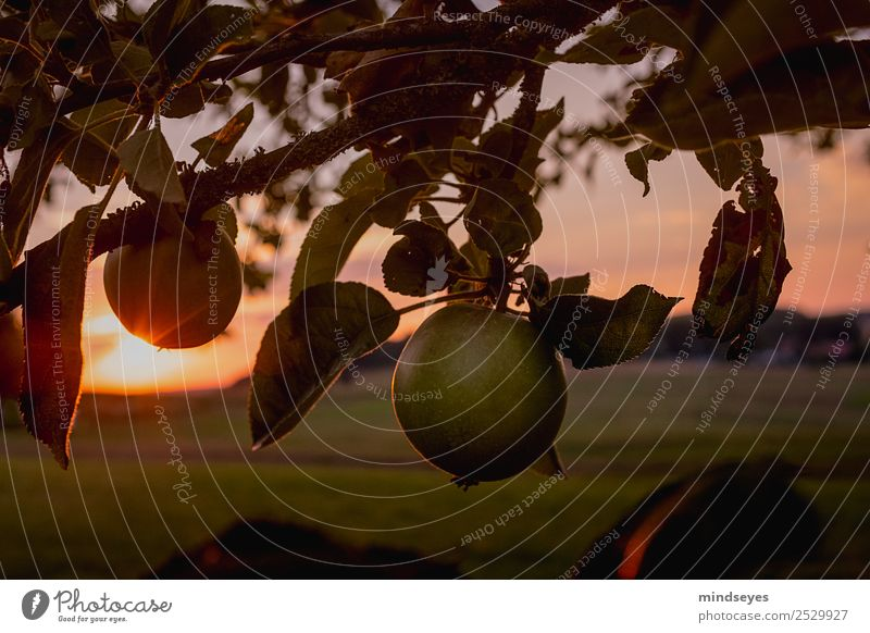 Apple on the tree at dusk Vacation & Travel Trip Freedom Nature Landscape Plant Sunrise Sunset Sunlight Summer Tree Leaf Meadow Deserted Hang Illuminate Looking