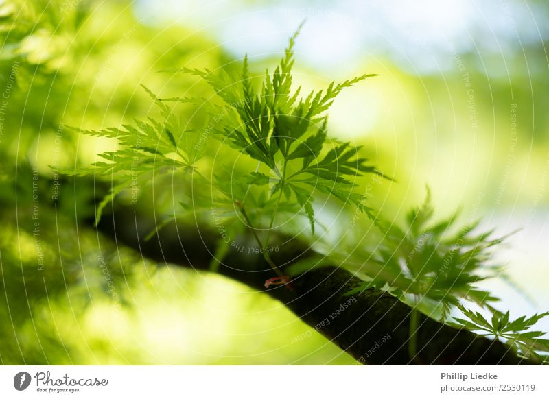 Young leafs of Japanese Maple growing Nature Plant Spring Summer Beautiful weather Tree Leaf Foliage plant Exotic Blossoming Growth Esthetic Fresh Natural New