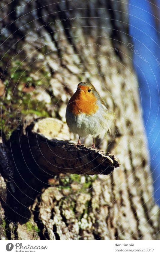 Nature Tree Animal Small Bird Wild animal Curiosity Near Analog Beautiful weather Tree trunk Robin redbreast