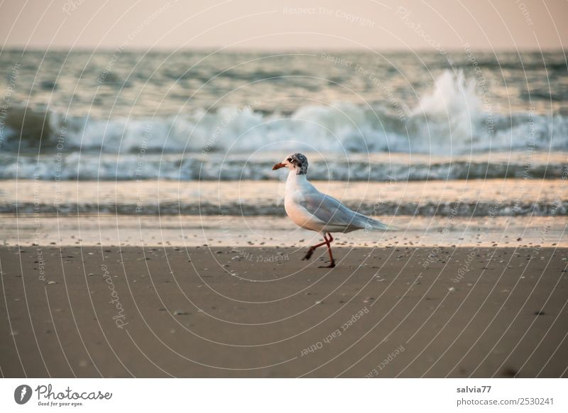 beach walk Nature Sand Air Water Summer Waves Coast Beach Ocean Animal Bird Seagull Silvery gull 1 Going Maritime Brown Loneliness Vacation & Travel
