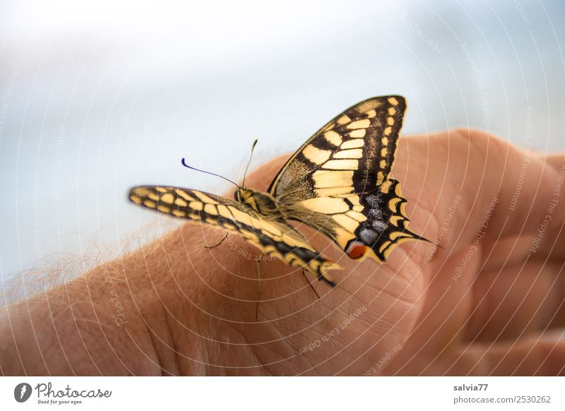 He's about to take off! Hand Nature Animal Wild animal Butterfly Wing Insect Swallowtail 1 Touch Esthetic Beautiful Trust Love of animals Ease Colour photo