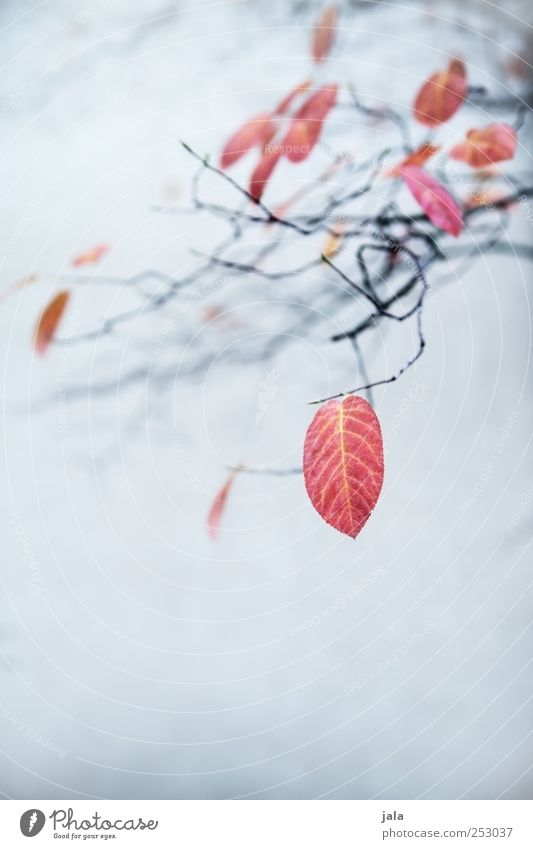 Nature Blue Beautiful Plant Red Leaf Black Autumn Environment Esthetic Branch