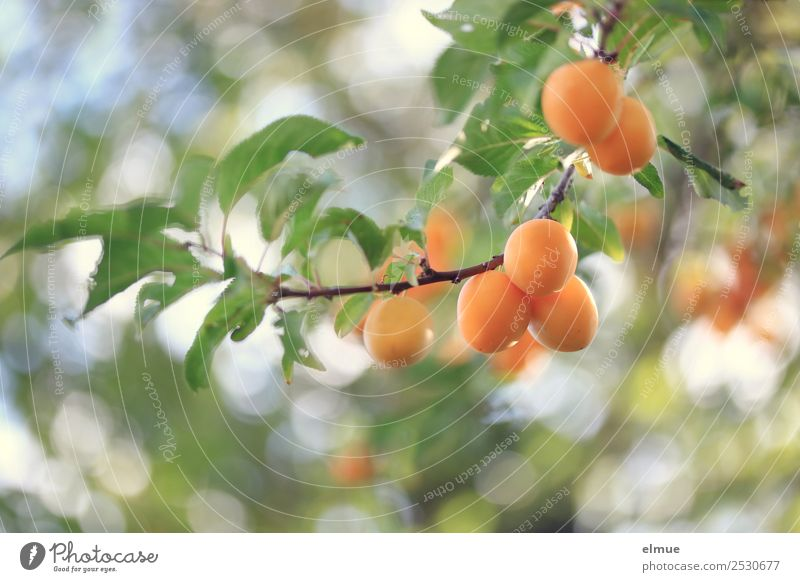 Nature Summer Tree Leaf Autumn Food Small Garden Orange Fruit Idyll Sweet Delicious Twig Harvest Organic produce