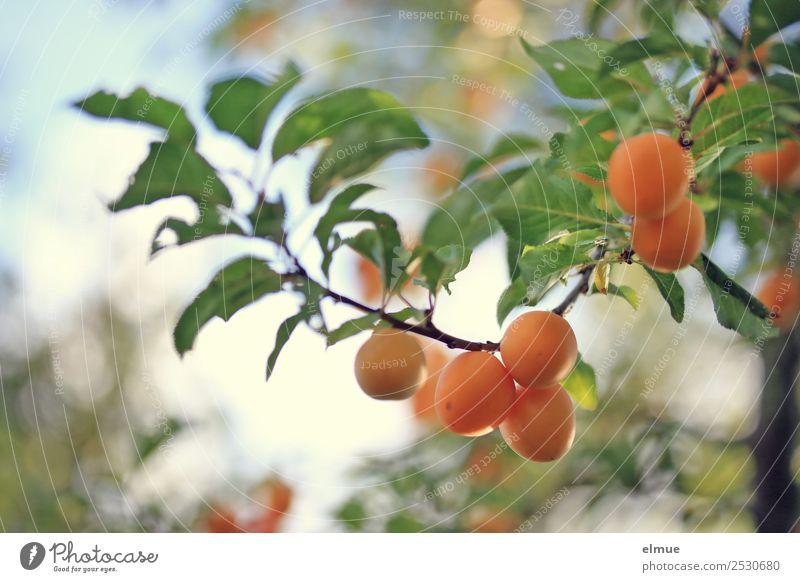Mirabelle plums II Food Fruit Jam Summer Autumn Beautiful weather Tree Leaf Hang Small Orange To enjoy Yellow plum Plum Fruity Harvest Fruit trees