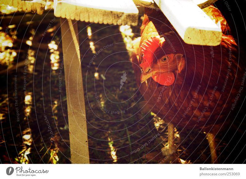 Better a chicken under the bank... Garden Pet Farm animal Barn fowl Retro Green Red White Watchfulness Timidity Chicken coop Refrain Exterior shot Twilight