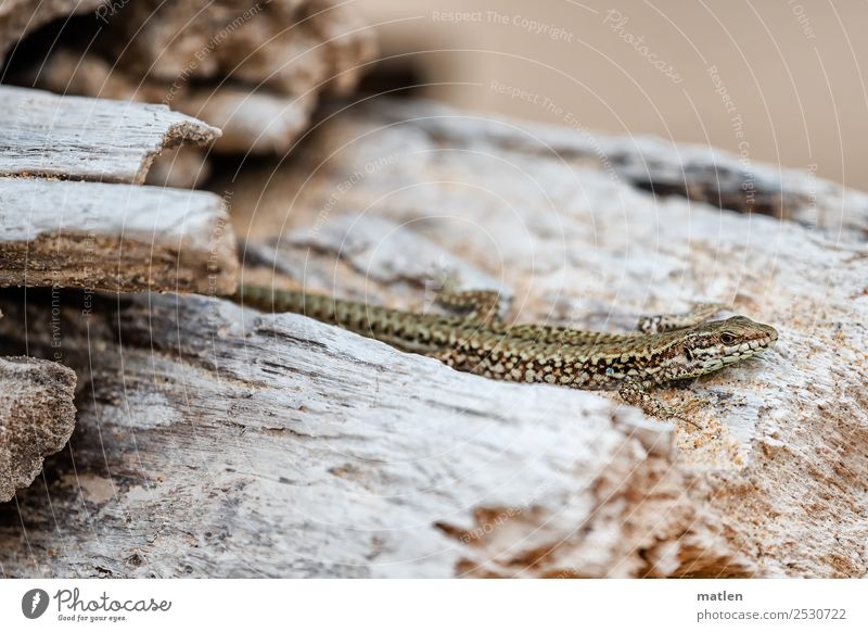 I-lizard Summer Tree Beach Animal Animal face Scales 1 Brown Gray Lizards Heat Observe Colour photo Subdued colour Exterior shot Close-up Deserted