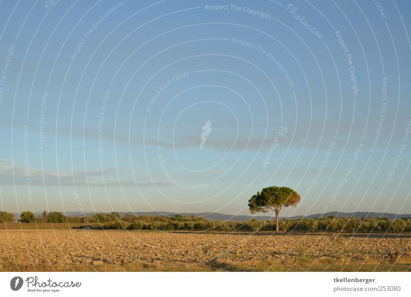 loner Nature Earth Sky Clouds Autumn Tree Blue Brown Stone pine Agriculture Field Arable land Italy Tuscany Maremma Individual Ochre Grass Logging lone fighter