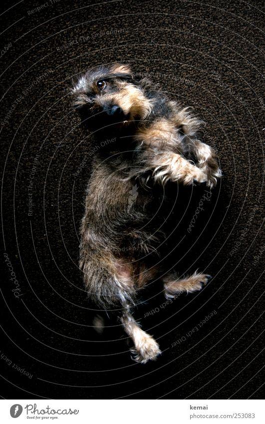 Animal Dog Brown Lie Cute Desire Animal face Pelt Pet Paw Hallway Carpet Dachshund Beg Puppydog eyes