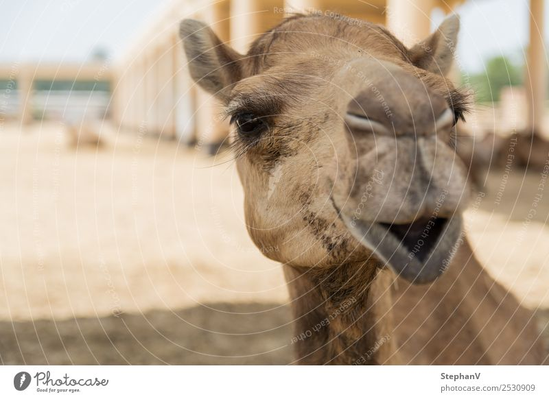 camel Vacation & Travel Tourism Trip Sightseeing Expedition Summer Summer vacation Camel 1 Animal Yellow Sports Tradition Logistics Colour photo Copy Space left