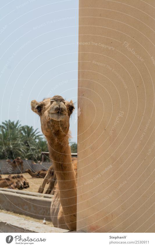Curious camel Vacation & Travel Tourism Trip Sightseeing Summer vacation Sun Cloudless sky Camel Animal face Pelt camel farm Herd Curiosity Colour photo