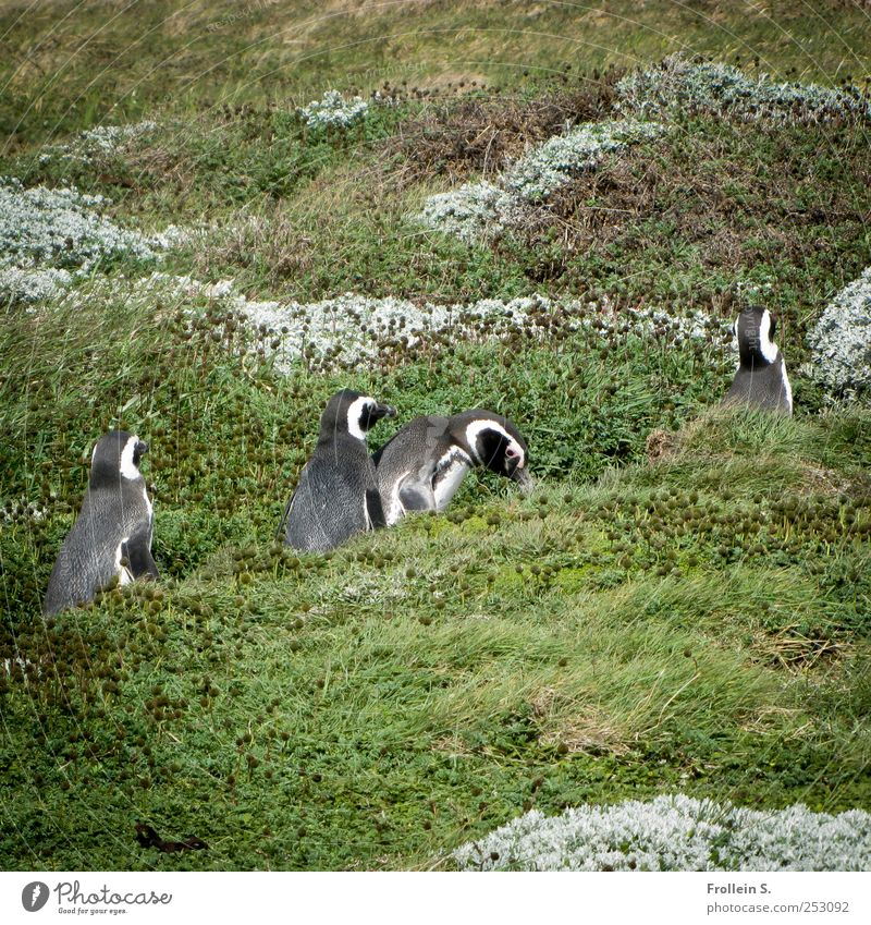 Sunday stroll Summer Pampa Wild animal Humboldt Penguin 4 Animal Going Funny Gray Green Silver Together Patagonia Colour photo Exterior shot Central perspective