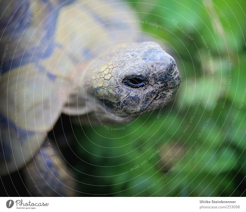 Lift head Animal Summer Grass Meadow Pet Wild animal Animal face Scales Turtle Greek tortoise Reptiles Tortoise-shell Shell 1 Observe Crouch Looking Exotic