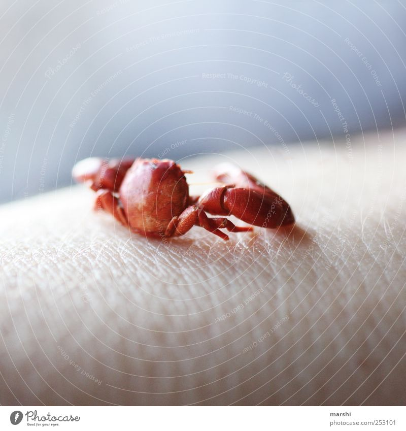 skin cancer Animal 1 Small Red Cancer Claw Tank Beautiful Hide Skin cancer Colour photo Exterior shot