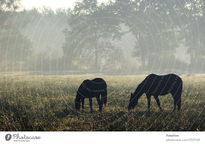 morning idyll Environment Nature Plant Animal Autumn Fog Tree Grass Meadow Horse Cool (slang) Cold Natural Gray Black Pasture Colour photo Subdued colour